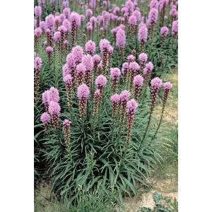 【宿根草】リアトリス「フロリスタン・ヴァイオレット」 5号(15cm)ポット植え|shikoku-garden