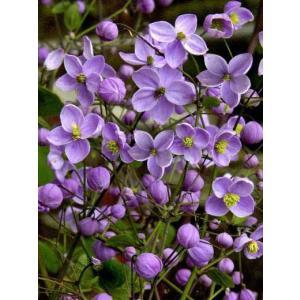 【宿根草】タリクトラム「スプレンダイド」 5号(15cm)ポット植え|shikoku-garden