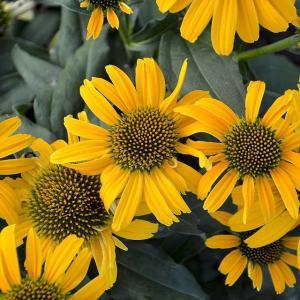 商品説明:鮮やかな黄色の花色で株元から分枝しやすく鉢植えにも向く。 学名:ECHINACEA 'Ca...