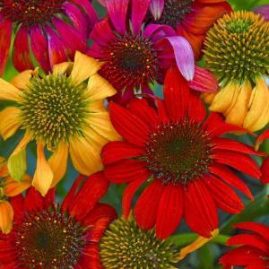 商品説明:白・黄・オレンジ・赤と幅広い花色混合品種で何色が咲くかはお楽しみ。 学名:ECHINACE...