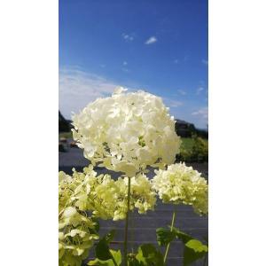 アジサイ(紫陽花)アナベル大苗 6号(18cm)ポット植え|shikoku-garden