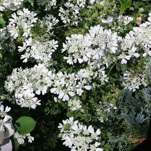 【宿根草】オルラヤ「ホワイトレース」 shikoku-garden
