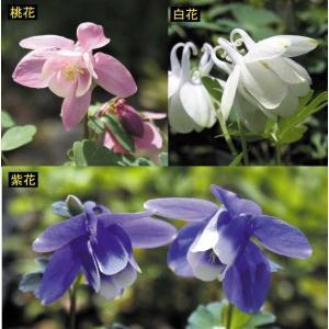 【まとめ買い】【山野草】深山オダマキ 3種セット|shikoku-garden