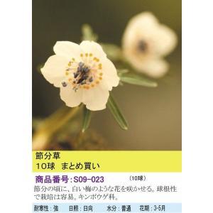 【まとめ買い】【山野草】節分草 10球|shikoku-garden