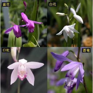 丈夫で庭植えに向く球根性のラン。紫花、白花、口紅、蒼竜の4種セット。 【耐寒性】強 【日照】日向  ...