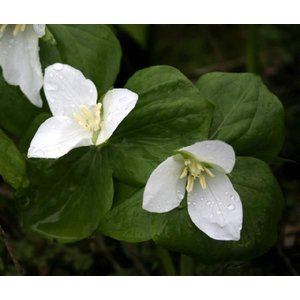 【まとめ買い】【山野草】オオバナエンレイソウ10株まとめ買い|shikoku-garden