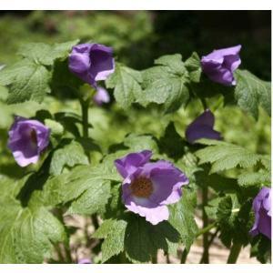【まとめ買い】【山野草】シラネアオイ地掘り株 10芽|shikoku-garden