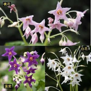【まとめ買い】【山野草】イワタバコ 3種セット|shikoku-garden