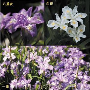 【まとめ買い】【山野草】姫シャガ 3種セット|shikoku-garden