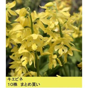 【2018年春〜 開花見込み株】【山野草】キエビネ 10株まとめ買い|shikoku-garden