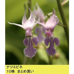 【まとめ買い】【山野草】ナツエビネ 10株まとめ買い|shikoku-garden