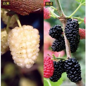 【果樹苗】甘い食用クワ2種セット(15cmp)|shikoku-garden
