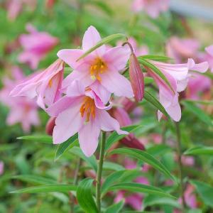 【まとめ買い】【山野草】ヒメサユリ(姫サユリ) 10株まとめ買い|shikoku-garden