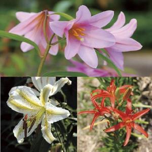 【山野草】野生ユリ3種セット|shikoku-garden
