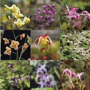 【まとめ買い】【山野草】イカリソウ銘品10種10株|shikoku-garden