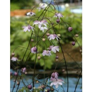 【山野草】レンゲショウマ 5ポットまとめ買い|shikoku-garden