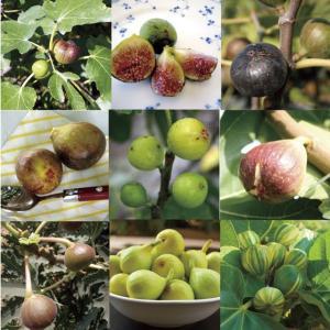 【果樹苗】イチジク品種 見計らい5種5株|shikoku-garden