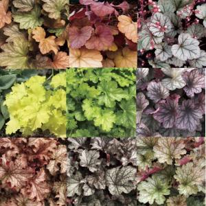 【宿根草】ヒューケラ品種 6号大株 見計い5種5株|shikoku-garden