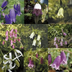 【まとめ買い】【山野草】ホタルブクロ 見計い5種5株|shikoku-garden