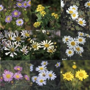 【山野草】野菊の仲間 見計い5種5株|shikoku-garden