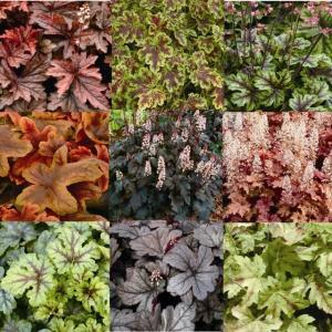 【まとめ買い】【宿根草】ヒューケレラ品種名付き 5種5株|shikoku-garden