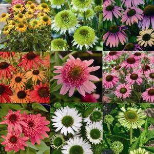 【宿根草】エキナセア品種名付き 5種5株|shikoku-garden