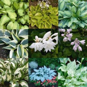【まとめ買い】【宿根草】ホスタ品種名付き 5種5株|shikoku-garden