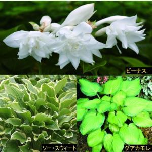 【まとめ買い】【宿根草】ホスタ芳香品種5号大株 3種3株|shikoku-garden