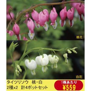 【まとめ買い】【山野草】タイツリソウ桃・白2色セット(各2ポットの計4ポットセット)|shikoku-garden