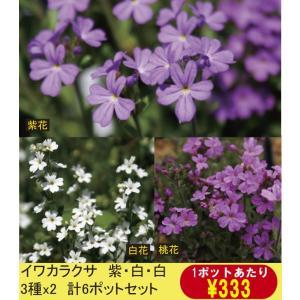 【まとめ買い】【山野草】イワカラクサ紫・桃・白3色セット(3種×2ポット 計6ポットセット)|shikoku-garden