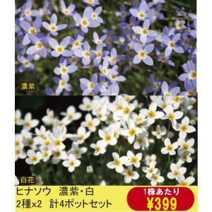 【山野草】ヒナソウ 濃紫・白2色セット(各2ポットの計4ポットセット)|shikoku-garden