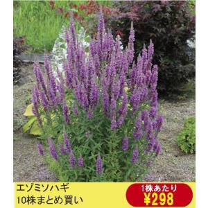 【山野草】エゾミソハギ 10株まとめ買い|shikoku-garden