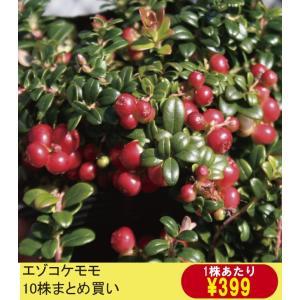 【山野草】エゾコケモモ 10株まとめ買い|shikoku-garden