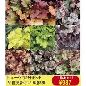 【まとめ買い】【宿根草】ヒューケラ品種名付き 5種5株|shikoku-garden