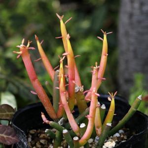 Euphorbia tirucalli 'Fire Sticks' 草丈10-240cm、ミルクブッ...