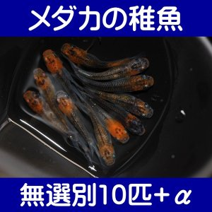 【メダカの稚魚】女雛 無選別10匹+α shimizukingyo