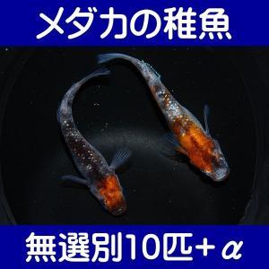 【メダカの稚魚】三色ラメ幹之 無選別10匹+α shimizukingyo