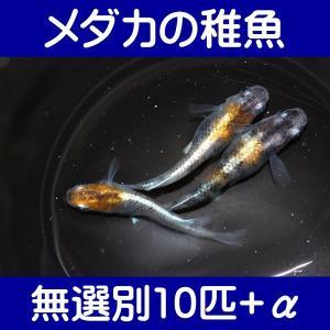 【メダカの稚魚】三色幹之 無選別10匹+α shimizukingyo