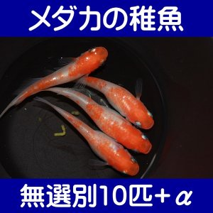 【メダカの稚魚】小町 無選別10匹+α shimizukingyo