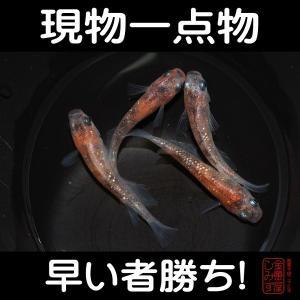 【現物一点物・メダカ】三色ラメ幹之 当歳 2ペア(計4匹) No.5 shimizukingyo