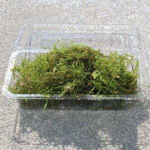 【内 容】 国産無農薬のウィローモスです。Lサイズのパック入りで、内容量はおよそ35gです。  【サ...