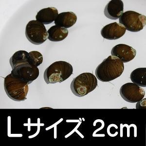 石巻貝 Lサイズ 5匹