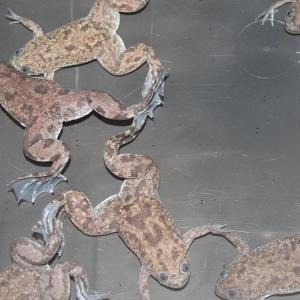 【内 容】 養殖物のアフリカツメガエル20匹のセットです。 両手を使ってエサをたぐり寄せる仕草が愛ら...