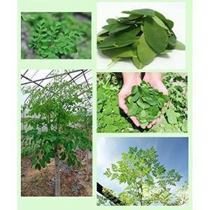 国内生産希少な有機栽培のモリンガです栽培期間中、農薬・化学肥料 不使用。沖縄県産のモリンガ葉100%を使用 ノンカフェインの琉球モリンガパウ|shimizusyouten01