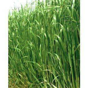 【エン麦(えんばく)】 雪印種苗 緑肥用ヘイオーツ 1kg ★メーカー直送につき代引き不可