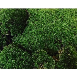 ◯希少な天然のホソバオキナゴケを1パック(23cm×15.5cm)でお届けします。  ◯土に植えてあ...