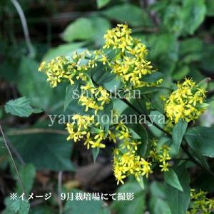アキノキリンソウ 9cmポット苗 山野草 |shioukan-hanaya