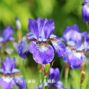 アヤメ(野あやめ) 10.5cmポット仮植え苗 山野草 |shioukan-hanaya