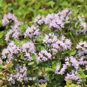 日本イブキジャコウソウ 9cmポット苗2ポットセット 山野草 |shioukan-hanaya