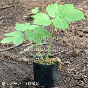 エゾニュウサク 10.5cmポット苗 山菜苗|shioukan-hanaya